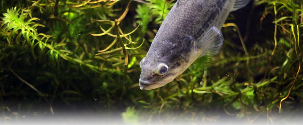 外来魚の脅威コーナーの外来魚の写真