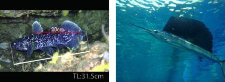 シーラカンス(左)とバショウカジキ(右)の稚魚
