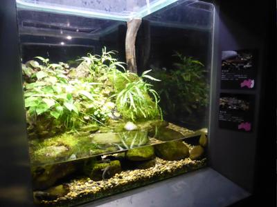 水槽展示アフター「ふくしまの希少な淡水魚」
