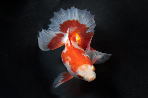 生きた芸術 金魚