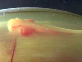 ラブカ卵殻の胎仔