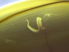 ラブカ卵殻内の胎仔