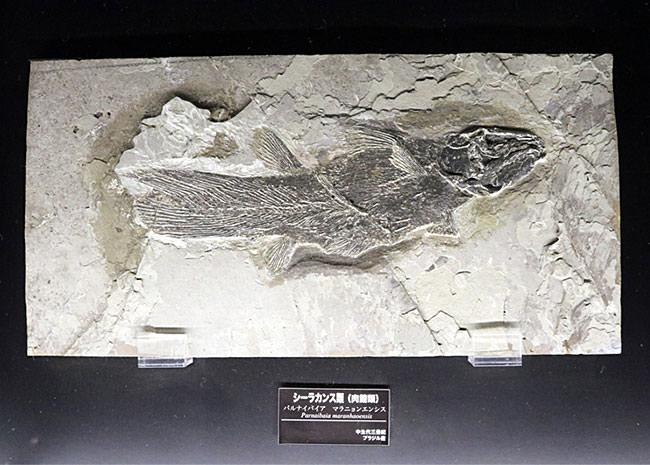 シーラカンスの化石