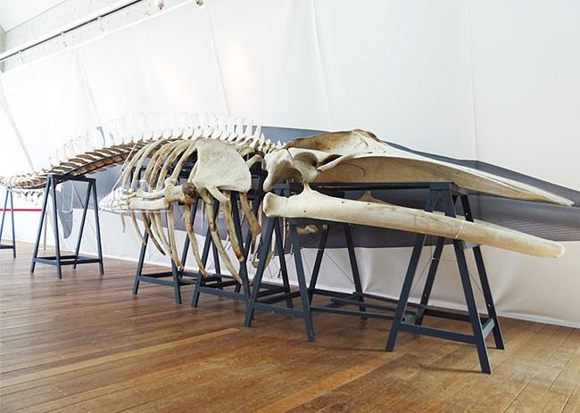 ミンククジラの骨格標本