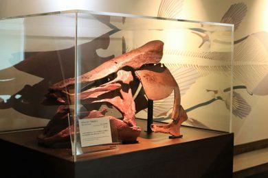 シーラカンスの骨格標本
