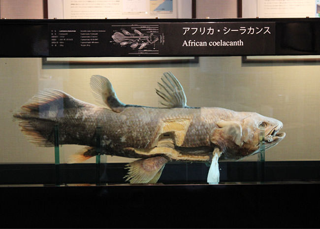 アフリカシーラカンスの標本