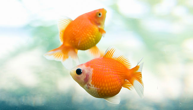 金魚・ピンポンパール