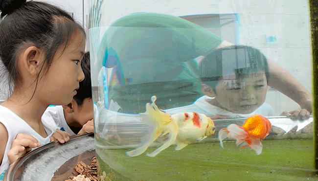 生きた芸術・金魚