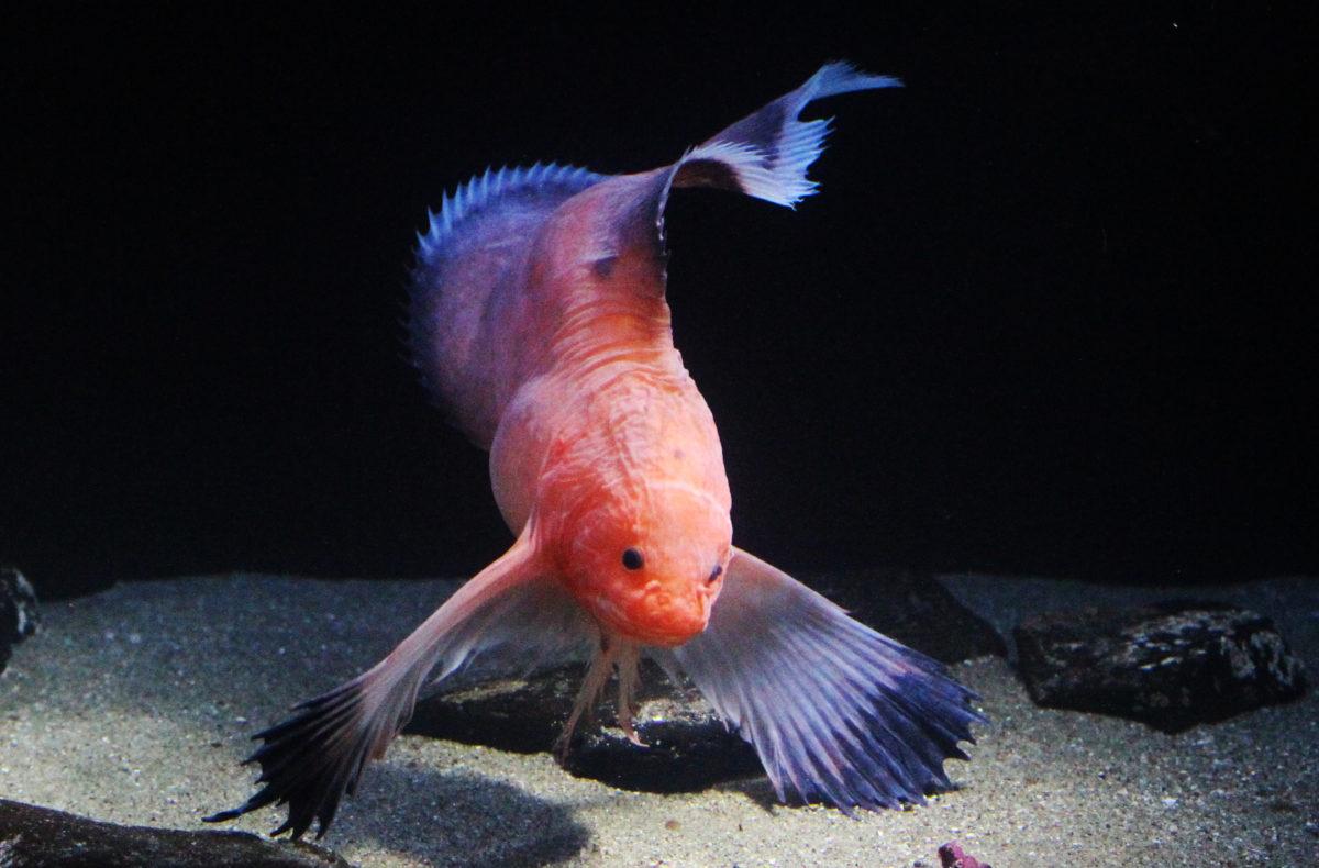 流行魚6_ハゴロモコンニャクウオ