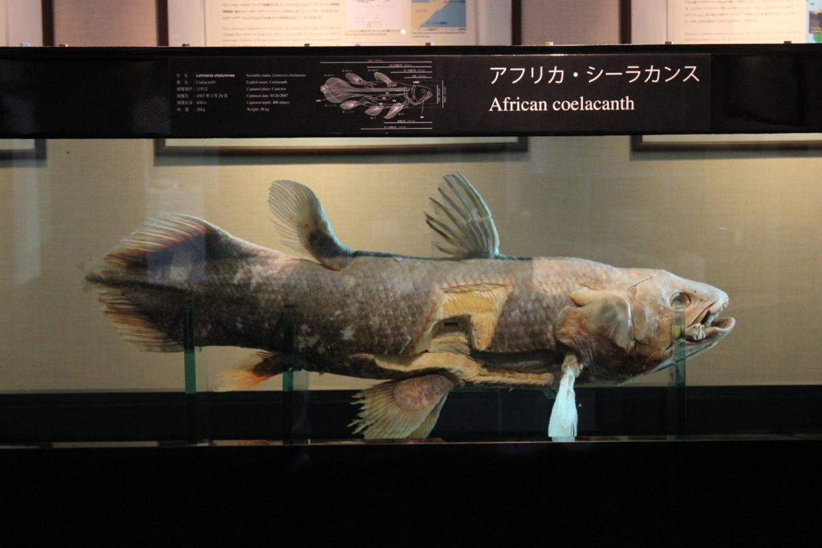 流行魚1_シーラカンス標本写真