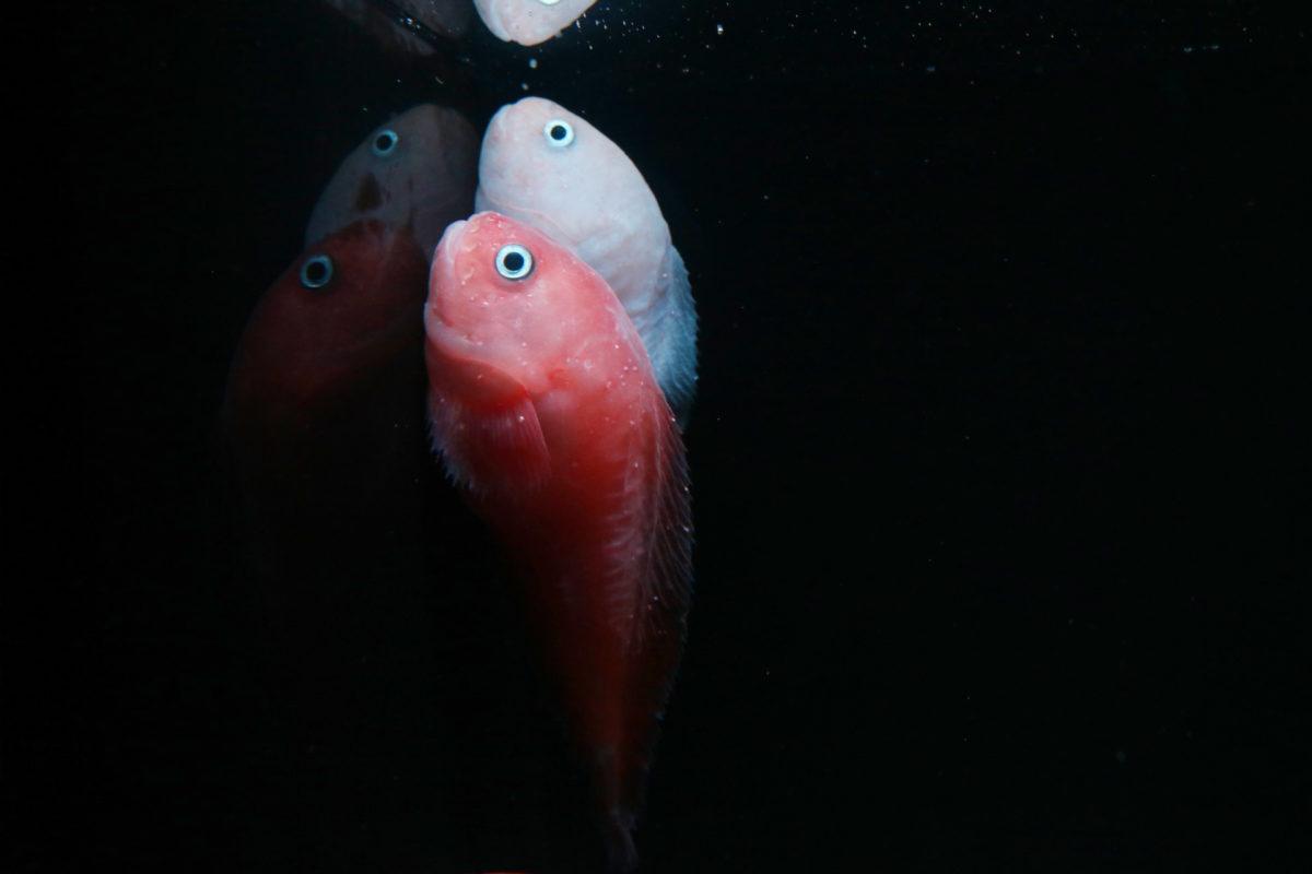 流行魚5_タマコンニャクウオ