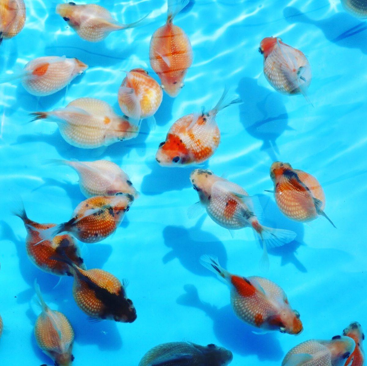 流行魚10_チョウチンパール