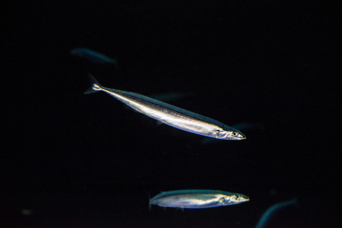 流行魚7_サンマ