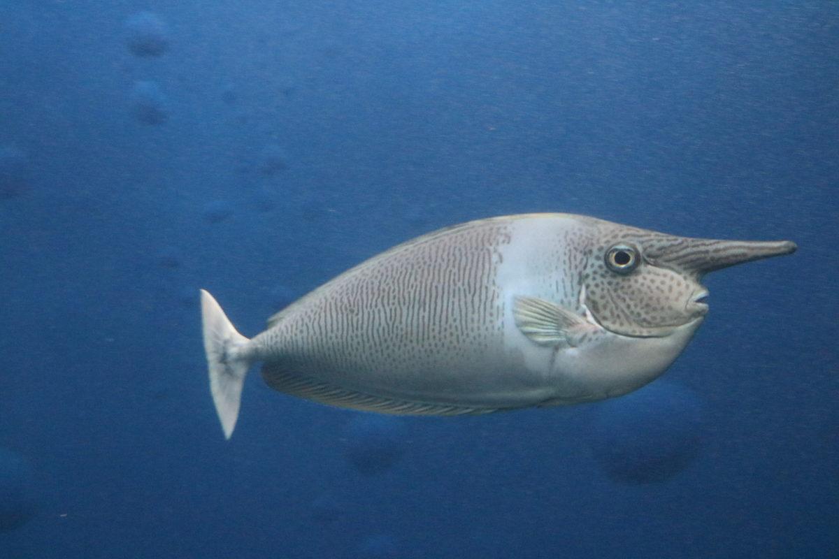 流行魚2_ツマリテングハギ