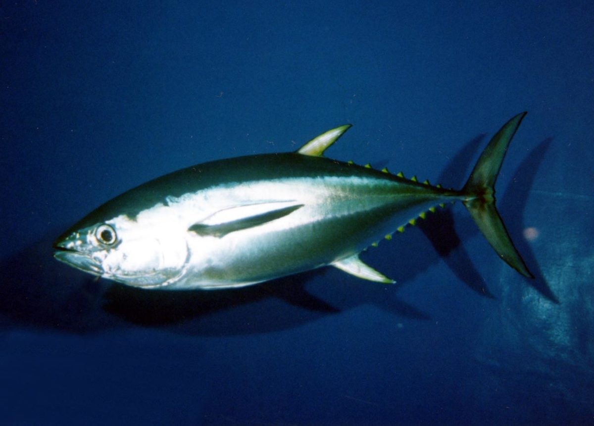 流行魚3_キハダ