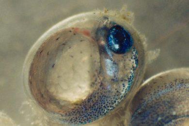 サンマ卵内発生