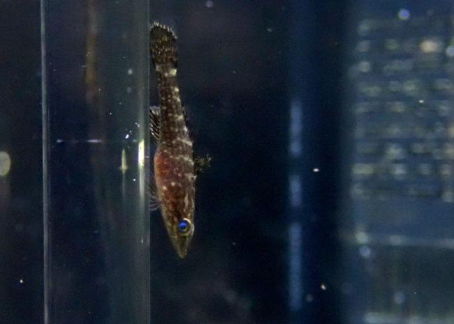 ヤエヤマノコギリハゼ幼魚