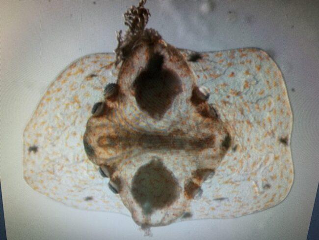 2020.12コトクラゲ幼生ふ化直後約2mm(2)