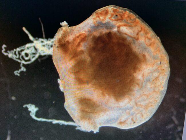 2021.1コトクラゲ幼生