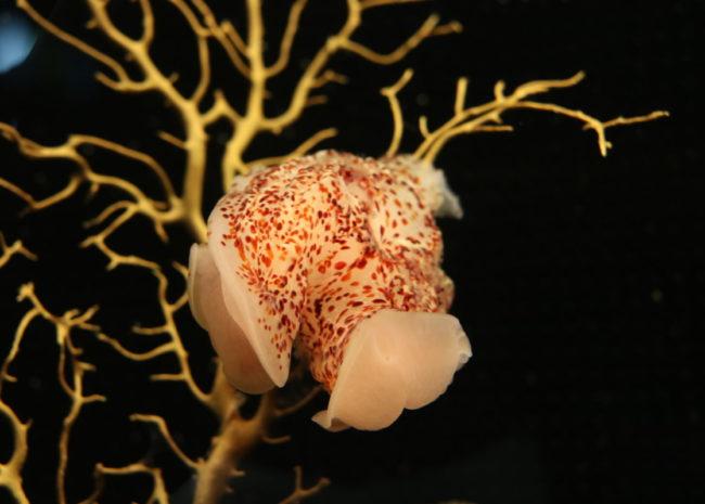 コトクラゲ