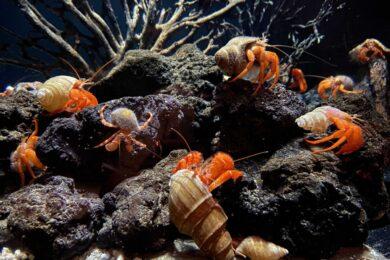 深海ヤドカリ