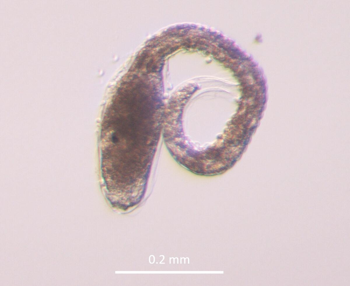 オオグチボヤ孵化幼生
