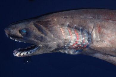 ラブカ成魚標本