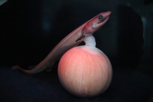 ラブカ胎仔(卵殻なし)